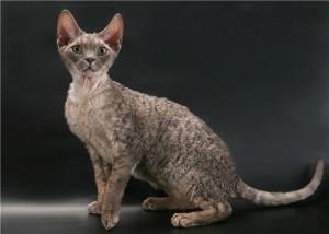Фото, описание кошек породы Орегон-рекс, характеристика для домашнего разведения.