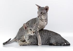 Описание породы ориентальных короткошерстных кошек, характеристика, содержание и фото.