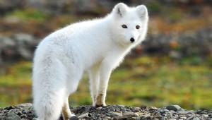 Фото, описание лисицы породы Песец, красивое животное, характеристика.