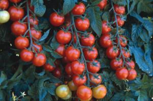 Как часто поливать помидоры в открытом грунте, описание, советы.