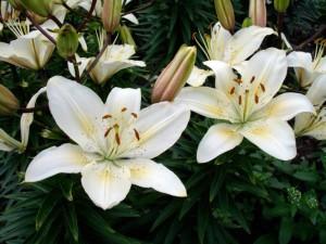 Способы размножение лилий, описание и фото.