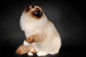Фото, описание кошек породы Рэгдолл, характеристика для домашнего разведения и содержания.