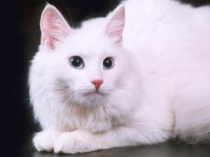 Описание породы кошек Турецкая ангора (ангорская кошка), характер, содержание и фото.