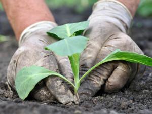 Лучшее минеральное удобрение для капусты, полезная подкормка, описание и фото.