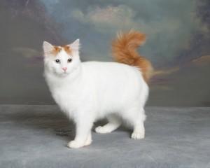 Фото, описание кошек породы Турецкий Ван, характеристика для домашнего разведения и содержания.
