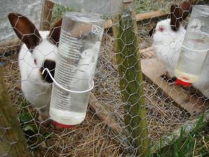 Как правильно и сколько давать воды кроликам зимой, летом.