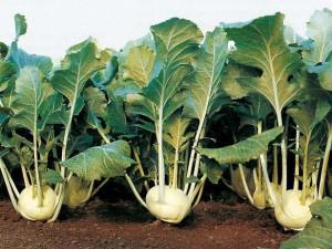 Фото, опис капусти Кольрабі, посадка та вирощування у відкритому грунті, правильний догляд в домашніх умовах.