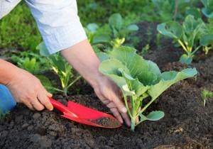 Опис технології посадки і вирощування цвітної капусти розсадою у відкритому грунті, фото, повна інструкція.