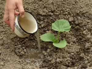 Технологія процесу посадки насіння гарбуза у відкритий грунт, фото, опис вирощування.