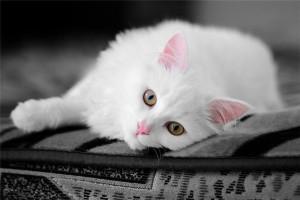 Опис кішок анатолійської породи, характеристика, утримання та фото.