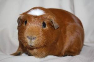 Опис морських свинок англійська крестед, характеристика, утримання та фото.