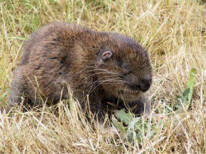 Description of mountain beaver beavers, character, habitat and photo