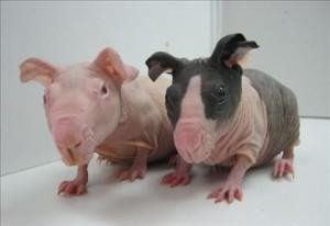 Опис морських свинок породи болдуін, характеристика, утримання та фото.