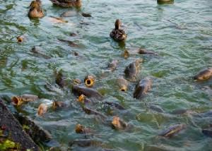 Описание болезней карповых рыб, способы лечения, фото.