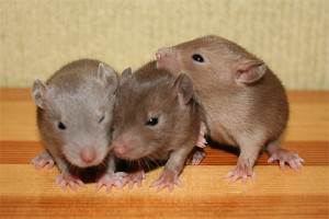Крысы бурмиз, описание, характеристика, содержание и фото.