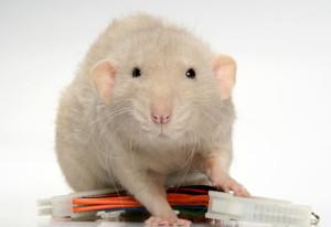 Rats double rex, description, characteristics, content and photos