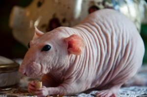 Опис щурів Дамбо Сфінкс, характеристика, утримання та фото.