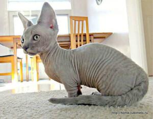 Описание кошек породы минскин, характеристика, содержание и фото.