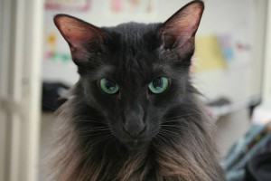 Описание кошек пород яванез (яванская кошка), характеристика, содержание и фото.