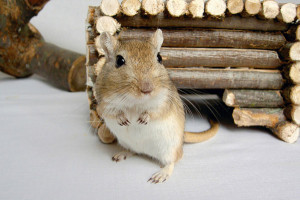 Description gerbils cream with a white belly, characteristics, content and photos