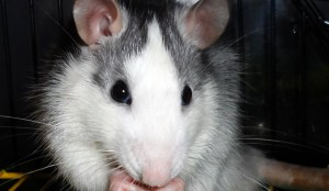 Rats husky, breed description, characteristics, content and photos