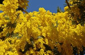 Рослина мімоза, догляд, вирощування, опис і фото.