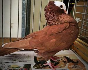 Описание породы голубей муки, характеристика история происхождения и фото.