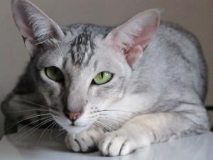 Описание длинношерстных ориентальных кошек, характеристика и фото.