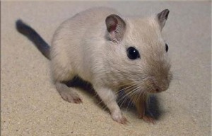 Gerbils siam, characteristics, content, description and a photo