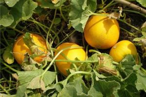 Фото, опис схеми посадки дині у відкритий грунт, технологія вирощування.