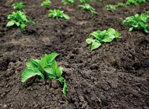 Способи посадки картоплі, строки посадки, обробка перед посадкою, опис і фото.