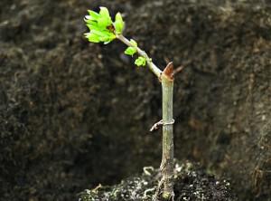 Щеплення дерев влітку і навесні, терміни щеплення, опис і фото.