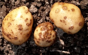 Pathogens potato cancer treatment methods, description and a photo