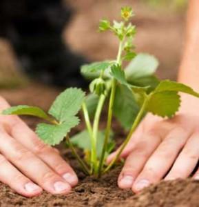 Способы размножения садовой земляники, описание и фото.