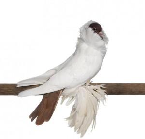 Опис голубів породи Шоломи, характеристика, утримання та фото.