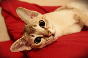 Опис, зміст і характеристики сінгапурських кішок (сінгапуру), фото