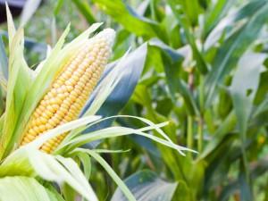 Советы по удобрению кукурузы, описание и фото.