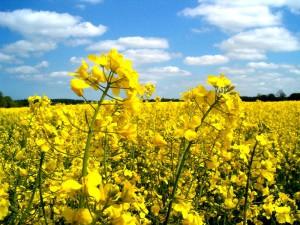 Выращивание и удобрение озимого рапса, описание, советы и фото.