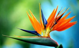 Стрелітція Королівська, вирощування, розмноження, опис і фото.
