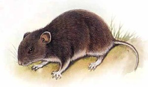 Описание породы длиннохвостого хомячка, фото вида, характеристика.