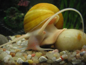 Опис акваріумних равликів виду Ампулярія, фото, утримання і догляд.