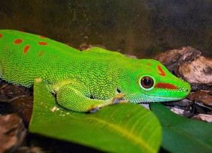 Великий мадагаскарський гекон, утримання в домашніх умовах, характеристика, опис і фото.