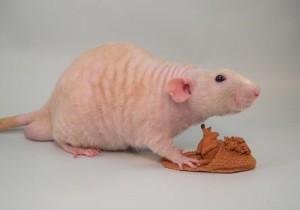 Описание крыс породы Фазза, фото.