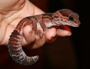 Описание геккона вида гемитеконикс толстохвостый, характеристика, фото породы.