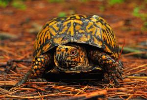 Каролінська коробчата черепаха, утримання, характеристика, опис і фото.