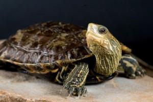 Каспийская черепаха, содержание в домашних условиях, советы по уходу, характеристика, описание и фото.
