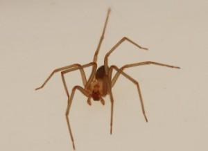 Описание вида ядовитых пауков Коричневый одинокий, характеристика породы, фото.