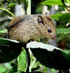 Мышовка степная, лесная, темная. Описание и фото.