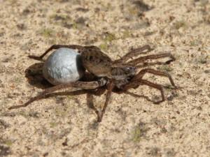 Опис виду павуків