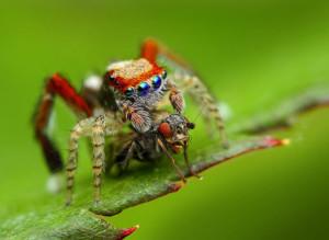Павук-скакун, характеристика, опис і фото.